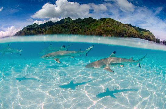 Black Tip Reef Sharks Swim Around Moorea in French Polynesia