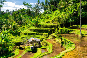 Tegallalang Rice Terraces on Bali in Indonesia