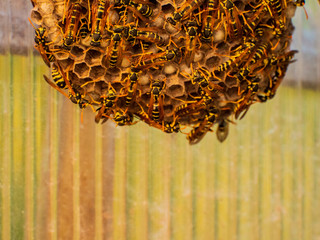 Dangerous large swarm of vicious wild wasps creeps in honeycombs