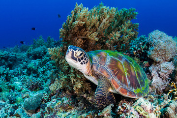 Photo sur Aluminium Tortue A large Green Sea Turtle (Chelonia Mydas) on a tropical coral reef in the Philippines
