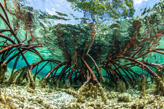 Underwater photograph of a mangrove tree in clear tropical waters with blue sky in background near Staniel Cay, Exuma, Bahamas