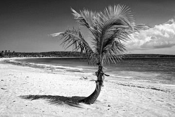 Caribbean, Puerto Rico, Vieques. Single coconut palm on Red Beach.  Wall mural