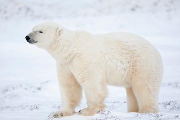 Poster Polar bear Polar Bear (Ursus maritimus) in snow, Churchill Wildlife Management Area, Churchill, Manitoba, Canada.