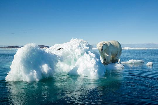 Canada, Nunavut Territory, Polar Bear (Ursus maritimus) climbing onto melting iceberg floating in Frozen Strait near Arctic Circle along Hudson Bay