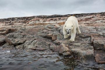 Printed kitchen splashbacks Polar bear Canada, Nunavut Territory, Repulse Bay, Polar Bears (Ursus maritimus) walking across stony shoreline on Harbour Islands along Hudson Bay