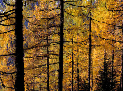 Austria, Grossglockner Pass. Autumn-touched larch trees make a mosiac of Grossglockner Pass, Austria.