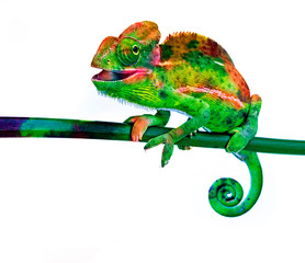 Fototapete - cute chamaeleo with funny colors isolated on a white background