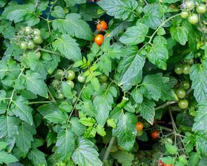 Tomatenstrauch aus dem Garten. Standort: Deutschland, Nordrhein-Westfalen, Borken