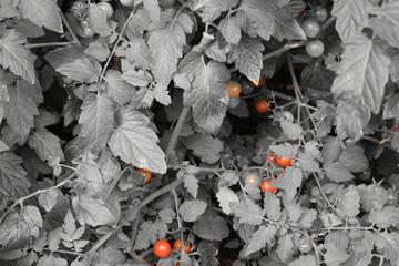 Einfarbiger Tomatenstrauch mit separierten roten Tomaten.