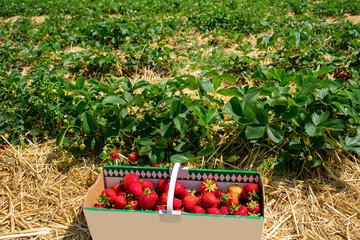 Korb voll mit frischen Erdbeeren. Standort: Deutschland, Nordrhein-Westfalen, Heiden