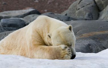 Printed roller blinds Polar bear Norway, Svalbard. Close-up of polar bear sleeping on snow.