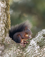 Red squirrel eating pine cone on tree