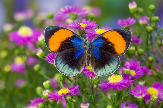 The star sapphire butterfly, callithea sapphira.