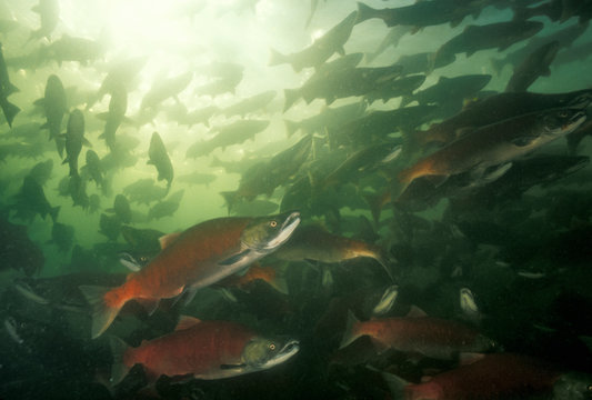 Spawning Sockeye Salmon, Pacific Northwest