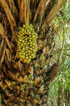 Pantanal, Mato Grosso, Brazil. Attalea speciosa (babassu, babassu palm, babacu, cusi) is a palm native to the Amazon Rainforest region in South America.