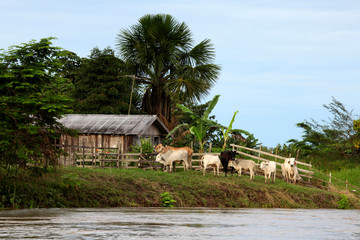 Brazil, Amazon. Farm and cattle on the Amazon river.