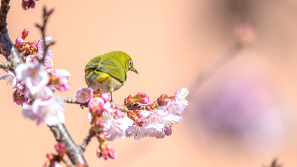 Japanese zosterops white-eye close up portrait in a branch of a blooming cherry tree