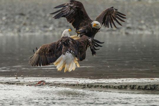 USA, Alaska, Chilkat Bald Eagle Preserve. Bald eagles fighting in the air. Credit as: Cathy & Gordon Illg / Jaynes Gallery / DanitaDelimont.com