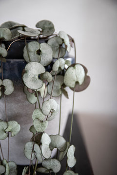 ceropegia woodii plant