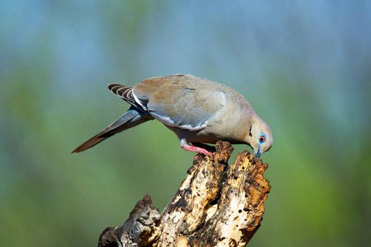 The white-winged dove's (Zenaida asiatica) feeding.