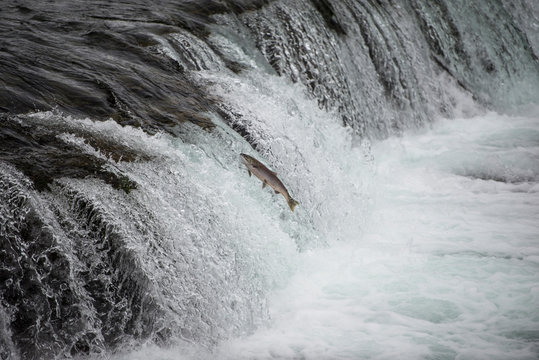 Salmon leaping up the water falls in Alaska