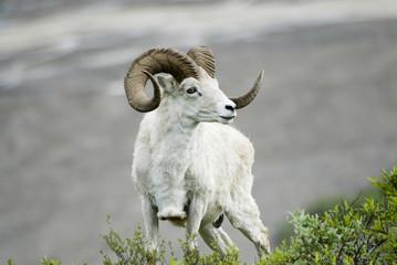 Dall sheep (Ovis dalli dalli), Denali National Park, Alaska, US, June 2006