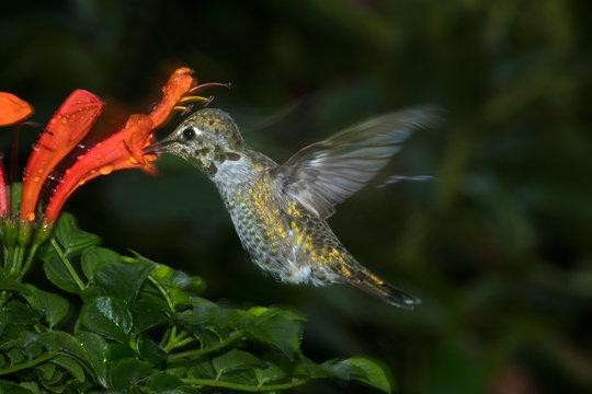 USA, California. Female Anna's hummingbird feeding on flowers. Credit as: Christopher Talbot Frank / Jaynes Gallery / DanitaDelimont.com