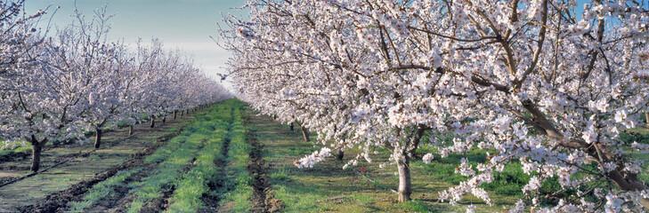 USA, California, Merced Co. Almond blossoms bloom in the spring near Santa Nella in Merced County in California.