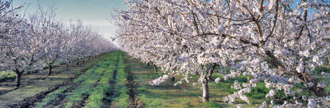 USA, California, Merced Co. Almond blossoms bloom in the spring near Santa Nella in Merced County in California.