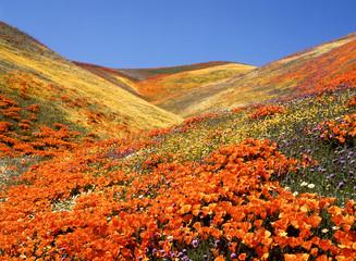 Owl's Clover, California Poppies, Coreopsis, Antelope Valley, California