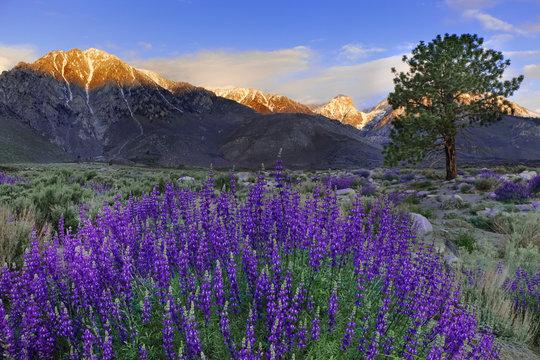 USA, California, Sierra Nevada Mountains. Inyo bush lupines in bloom.