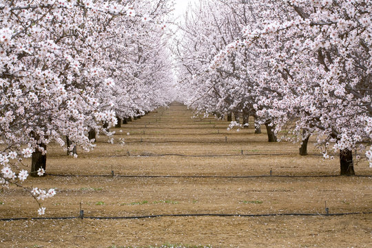 USA, California, Merced Co. Irrigation lines provide water for almond orchards near Santa Nella, California.