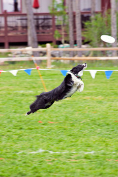 USA, Colorado, Breckenridge, Carter Park. Border collie leaps to catch Frisbee in dog competition. Credit as: Fred J. Lord / Jaynes Gallery / DanitaDelimont.com