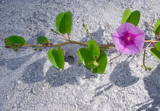 Railroad Vine (Ipomoea pes-caprae) Captiva Island, Florida