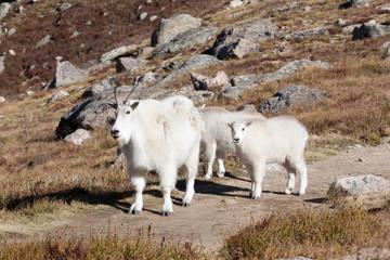 North America - USA - Colorado - Rocky Mountains - Mount Evans. Mountain goat - oreamnos americanus.