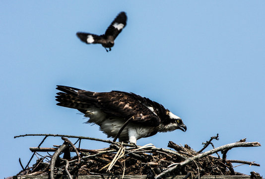Lewes, Delaware. Meadowlark Bird Aggressively Approaches an Osprey in his Nest