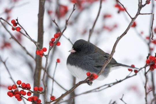 Dark-eyed Junco (Junco hyemalis) in Common Winterberry (Ilex verticillata) in winter, Marion, Illinois, USA.