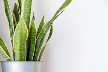 Snake plant,indoor houseplant on wall room decor.