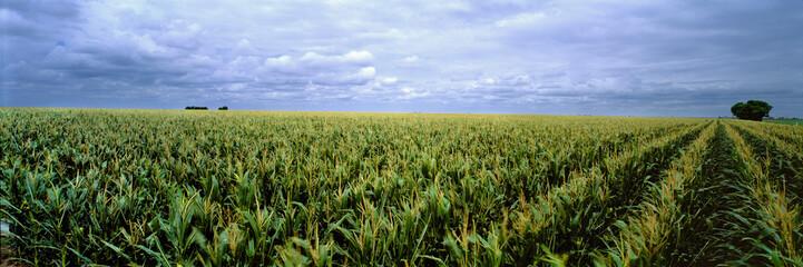 USA, Kansas, Cheyenne County. Cornfields stretch as far as the eye can see in Cheyenne County, Kansas.