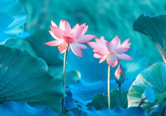 Garden Poster Lotus flower lotus or waterlilly flower in the pond