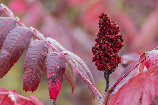 USA, Ogle County, Illinois, Red sumac leaves and seed head in autumn