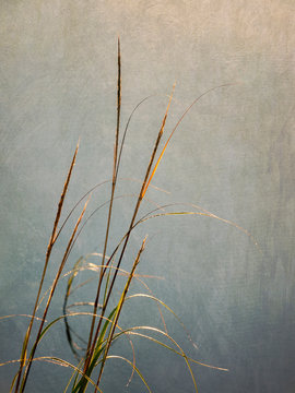USA, Massachusetts, Cape Cod, Dew-covered reeds at sunrise (texture overlay)