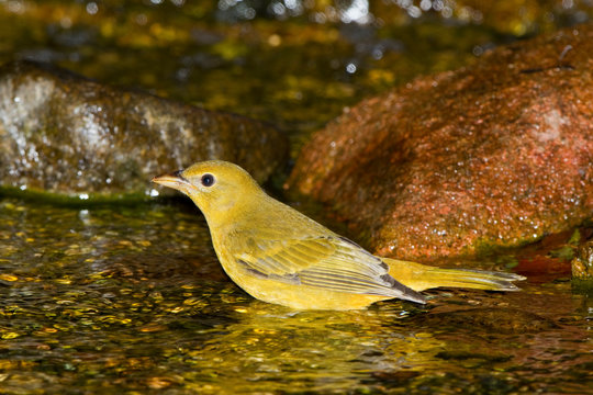 Summer Tanager (Piranga rubra) female bathing, Marion, Illinois, USA.