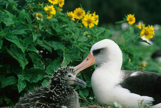 Laysan Albatross, (Diomedea immutabilis), adult with chick, Midway Atoll, NW Hawaiian Island.