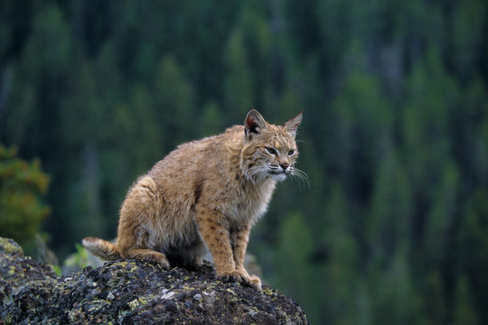 Lynx (lynx Rufus) (Captive), Montana