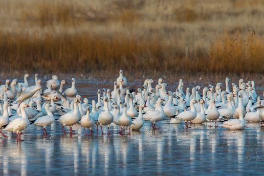 USA, New Mexico, Socorro, Bosque del Apache. Snow geese on ice. (Chen caerulescens)