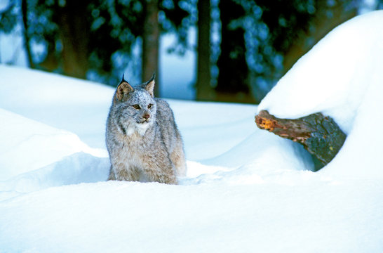 A Canadian Lynx (lynx canadensis) pauses in the snow.