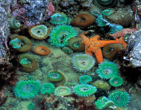 USA, Oregon, Nepture SP. An orange starfish is surrounded by green sea anemone in a tide pool at Neptune State Park, near Oregon's Cape Perpetua.