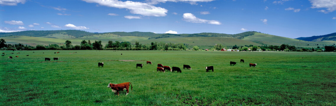 USA, Oregon, Prairie City. Cattle graze on spring grass in a pasture near Prairie City in eastern Oregon.