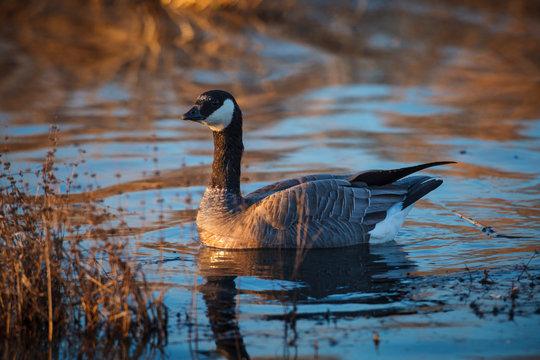 USA, Oregon, Baskett Slough National Wildlife Refuge, Cackling Goose (Branta hutchinsii).